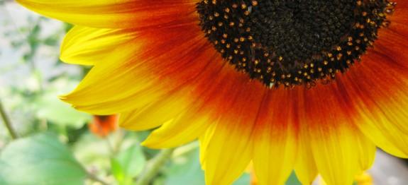Kaip saulėgrąžų aliejus veikia mūsų organizmą?